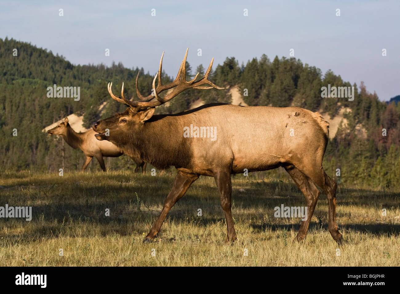 A handsome Bull Elk strutting his dominance during the fall rut - Stock Image