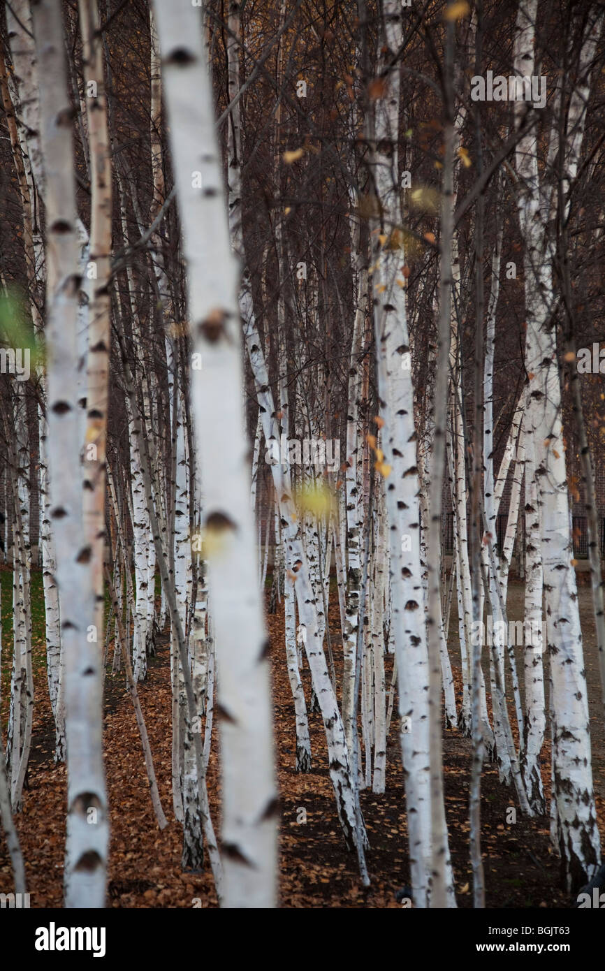 Silver Birch trees planted in rows. - Stock Image