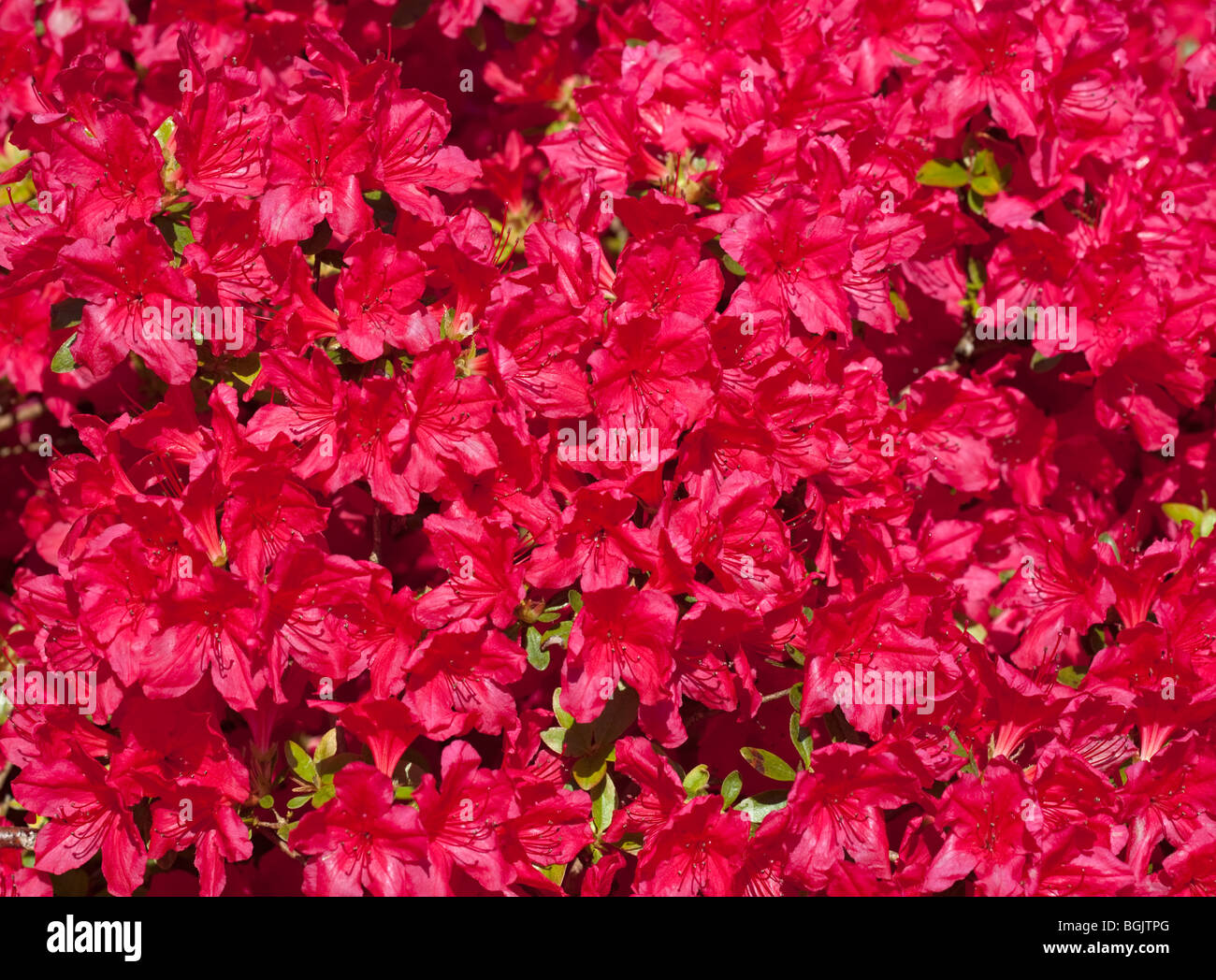 Rhododendron Hino Red - Stock Image