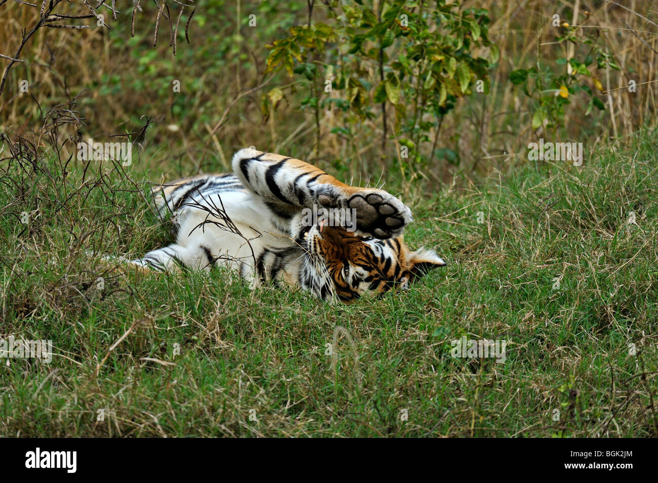 Tiger rolling in green grass of Ranthambhore after the monsoon rains Stock Photo