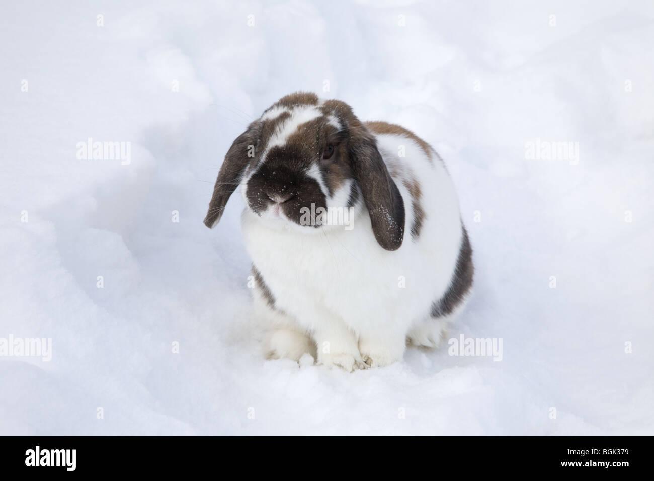 Holland Lop pet dwarf rabbit outdoors in backyard  in winter - Stock Image
