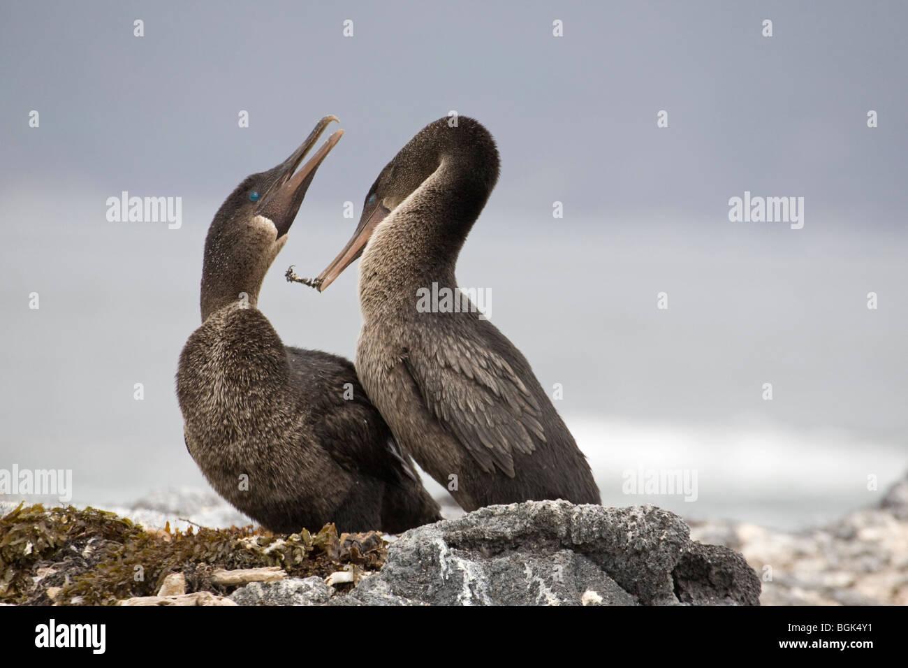 Flightless Cormorant  (Phalacrocorax harrisi) male presenting gift of seaweed nesting material to female during - Stock Image