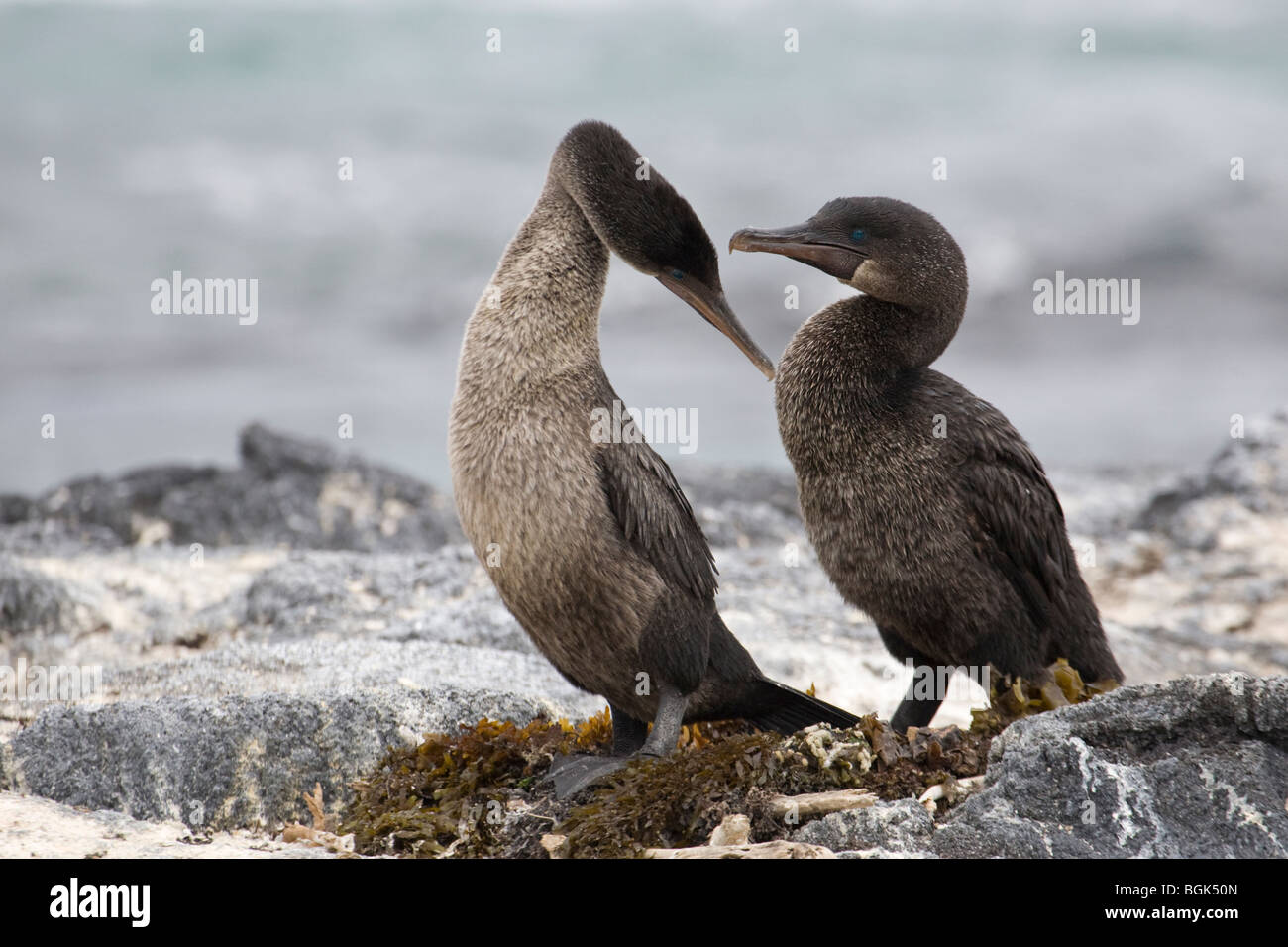 Flightless Cormorant (Phalacrocorax harrisi) courtship behaviour Stock Photo