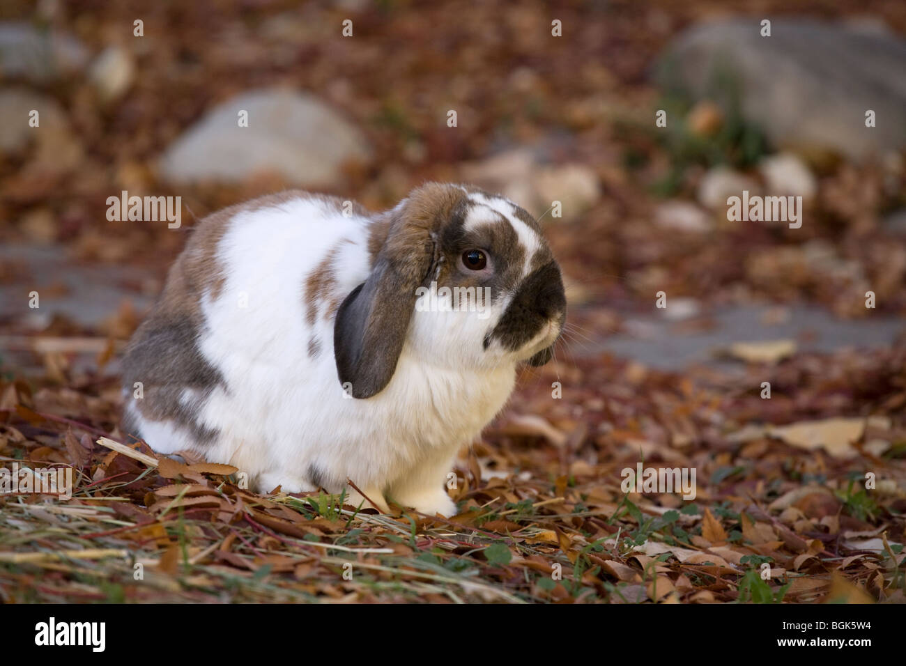 Holland Lop pet dwarf rabbit outdoors in yard in autumn Stock Photo