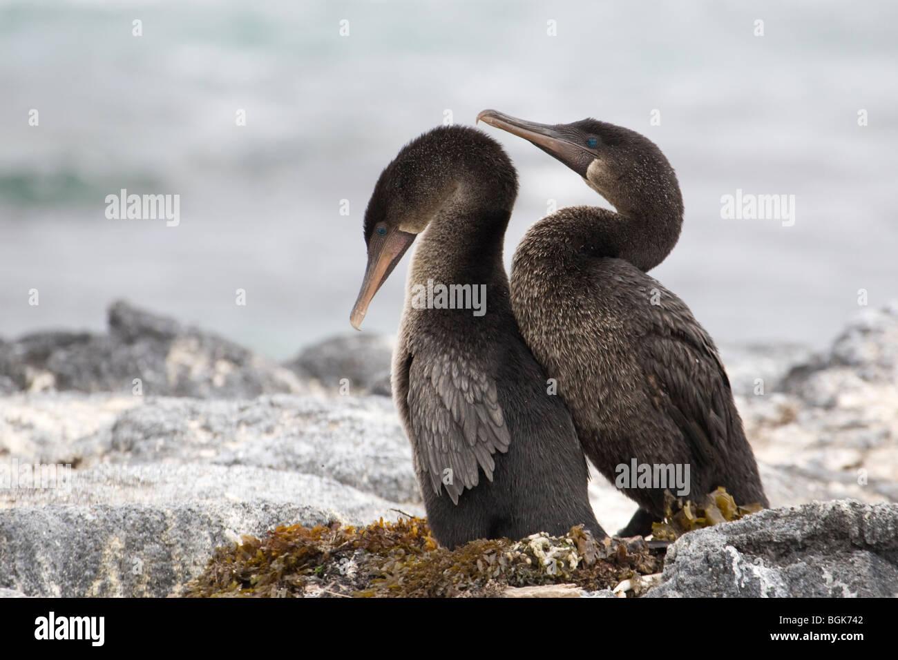 Flightless Cormorant  (Phalacrocorax harrisi) courtship - Stock Image