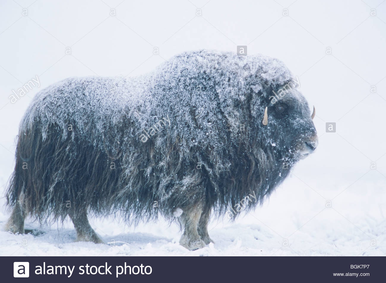 Alaska, Arctic National Wildlife Refuge / ANWR. Frozen tundra in winter hosts the Musk Ox, a prehistoric mammal - Stock Image