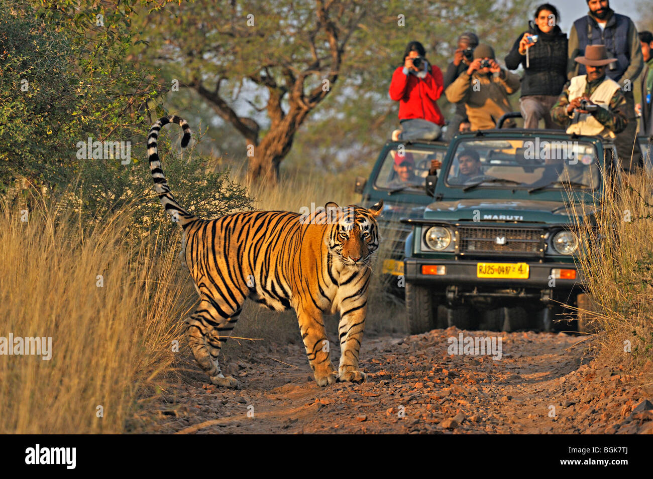 Tourist vehicles following a tiger on a tiger safari in Ranthambhore tiger reserve - Stock Image