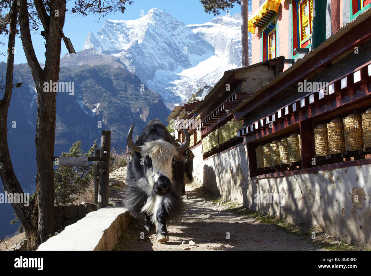 Yaks Coming Down Into Namche Bazaar Passed The Monastery Himalayas Khumbu Region Nepal Asia - Stock Image