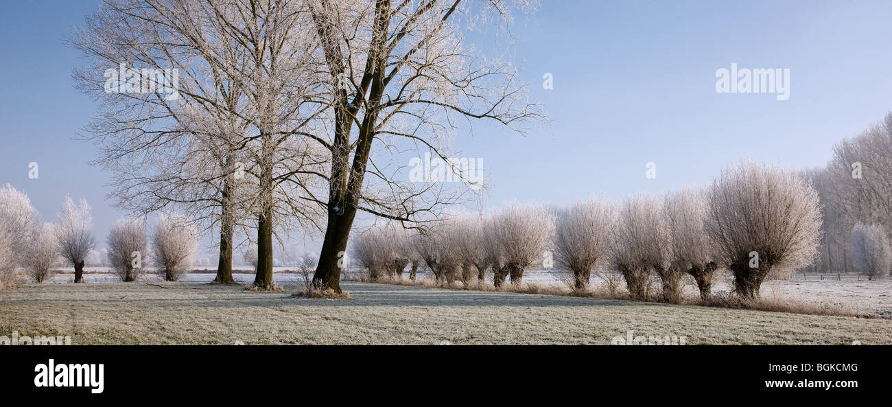 Pollard willows (Salix sp.) and poplars (Populus sp.) covered in hoarfrost in winter, Belgium Stock Photo