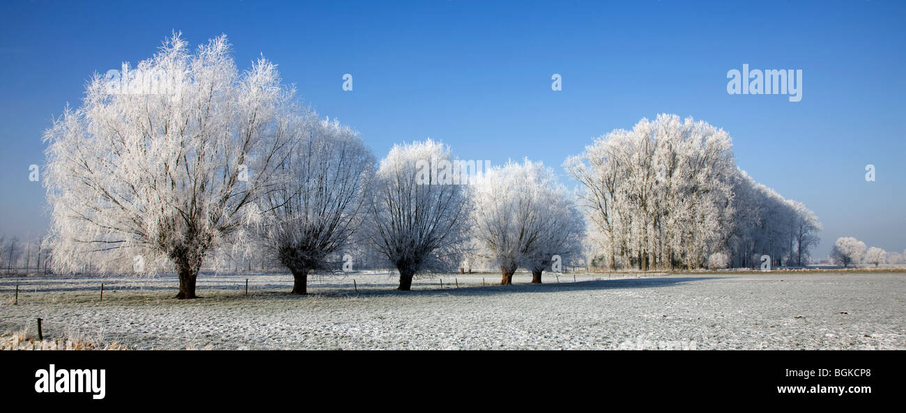 Pollard willows (Salix sp.) and poplars (Populus sp.) covered in hoarfrost in winter, Belgium - Stock Image