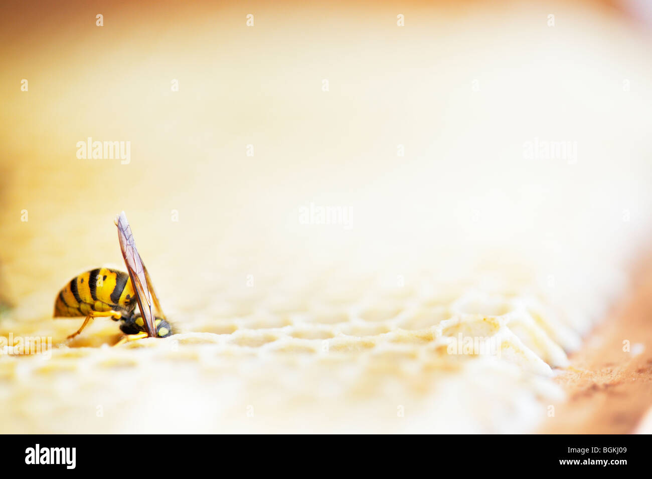 Wasp raiding honeycomb in a beehive - Stock Image