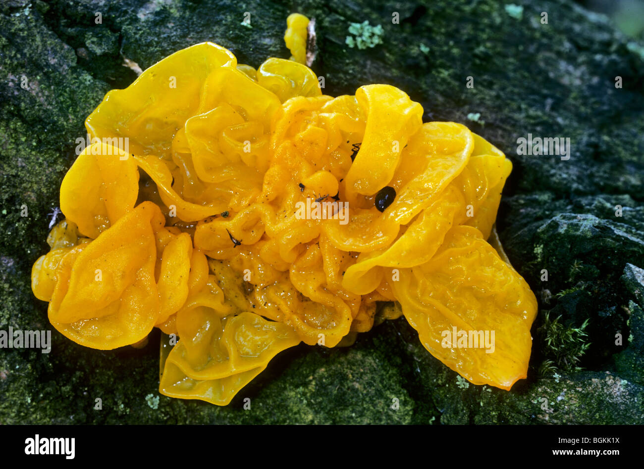 Yellow brain fungus / golden jelly fungus / yellow trembler / witches' butter (Tremella mesenterica / Helvella - Stock Image