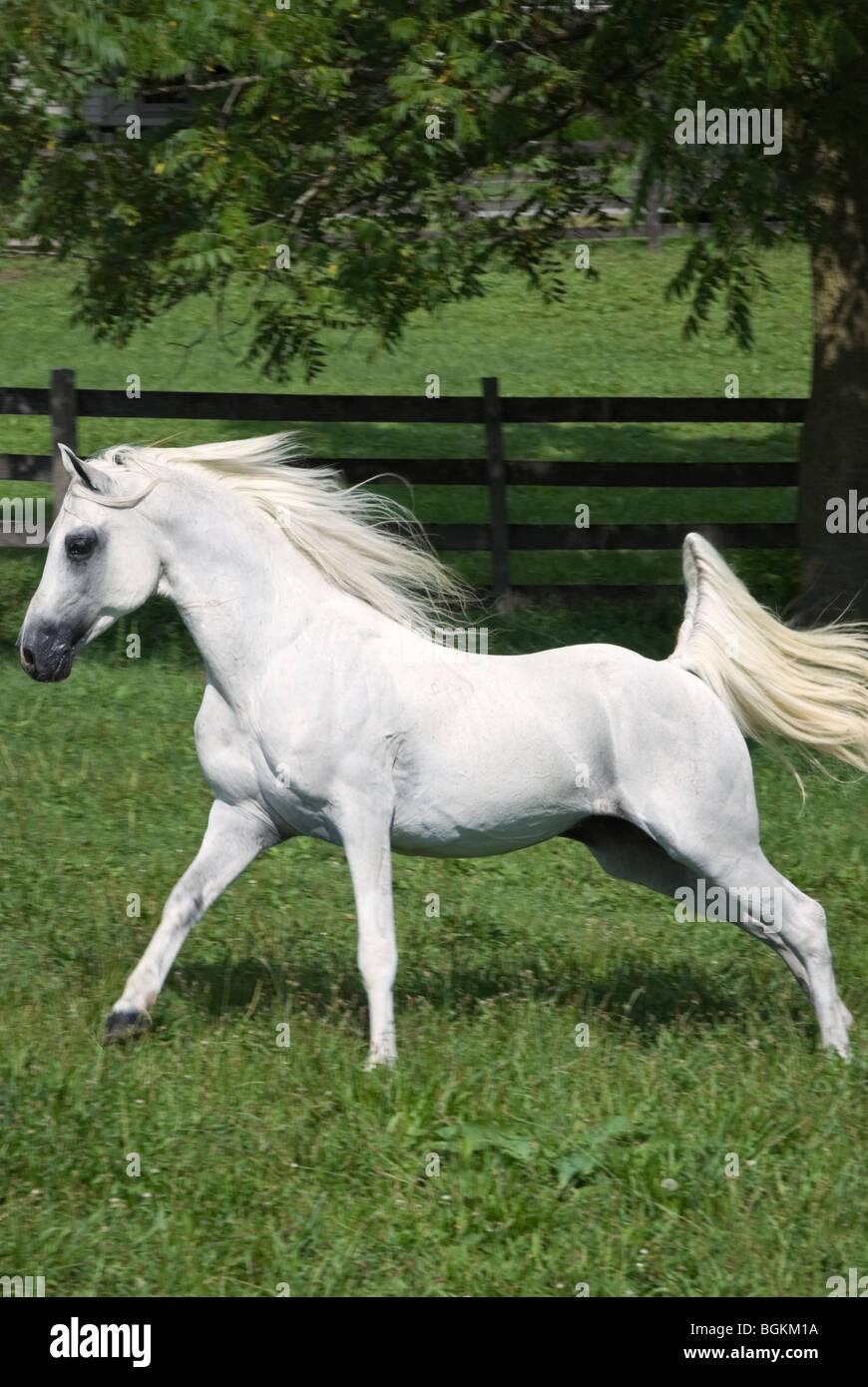 Stock Photo Of A White Arabian Stallion Running Across A Green Summer Stock Photo Alamy