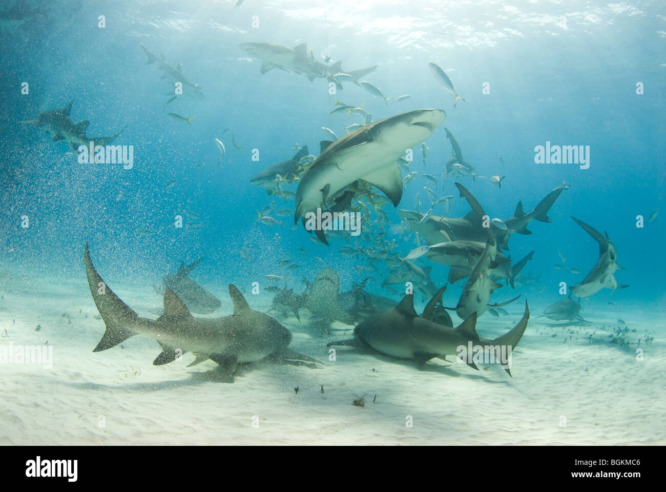 Lemon Sharks stir up the bottom as they circle and scavenge for food - Stock Image