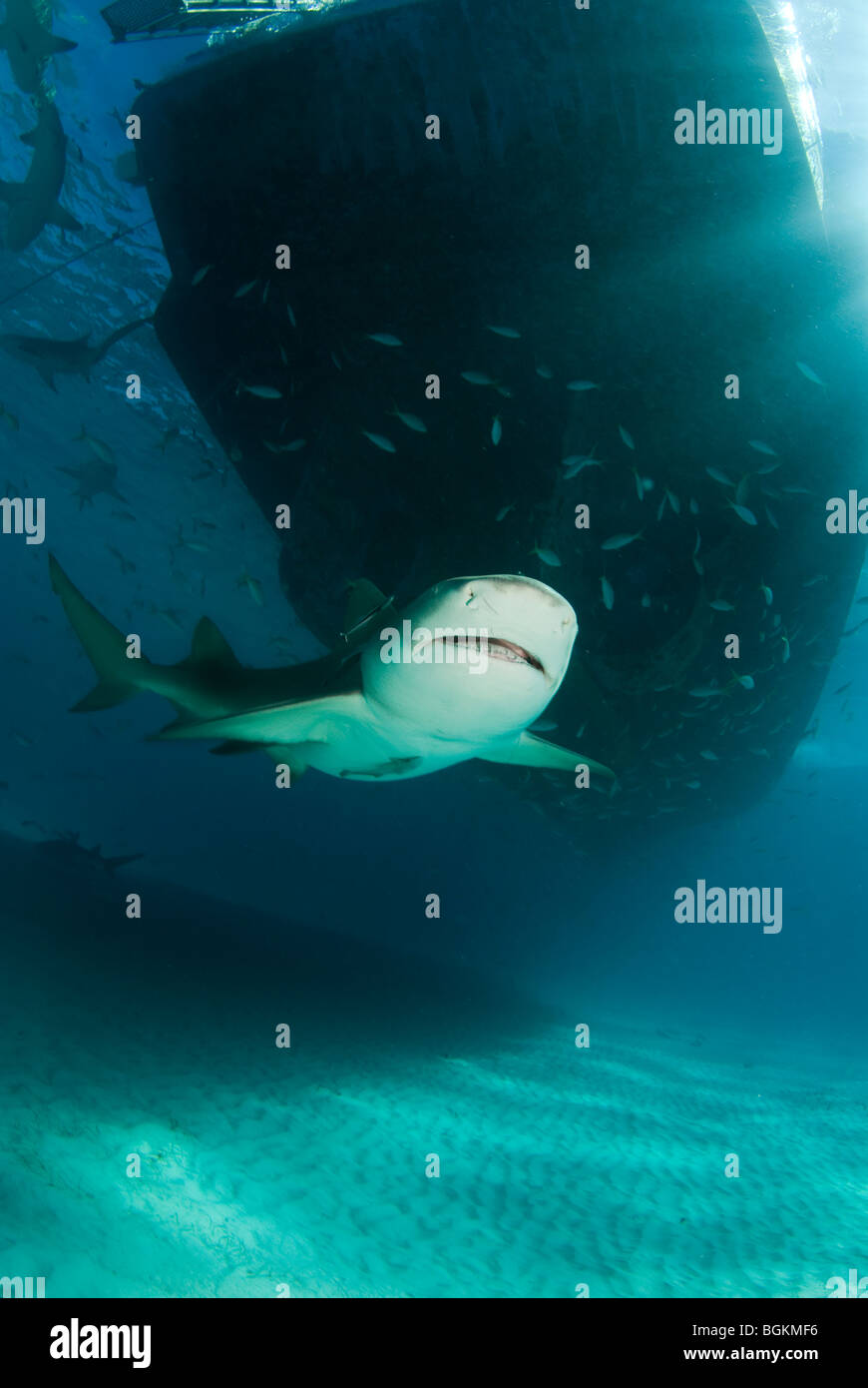 Lemon Shark ( Negaprion brevirostris) with sharks feeding on schools of fish around the hull of a boat - Stock Image
