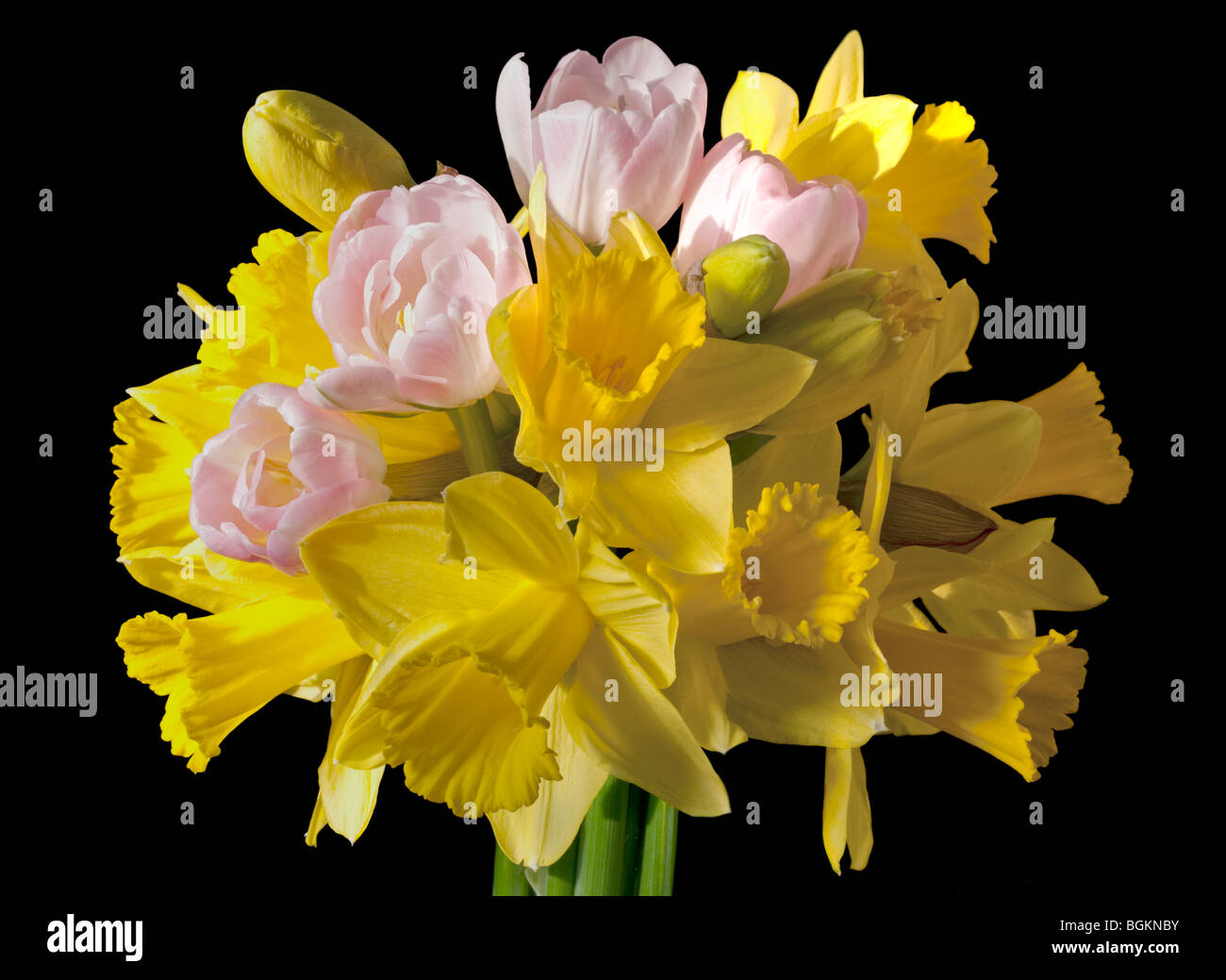 Spring bouquet of Yellow Daffodils and Pink Tulips - Stock Image