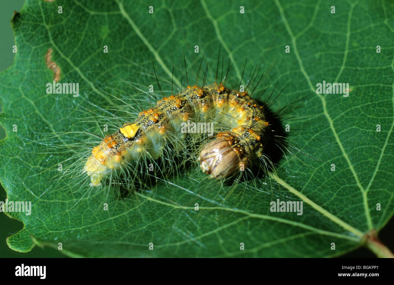 Poplar Grey (Acronicta megacephala) caterpillar - Stock Image