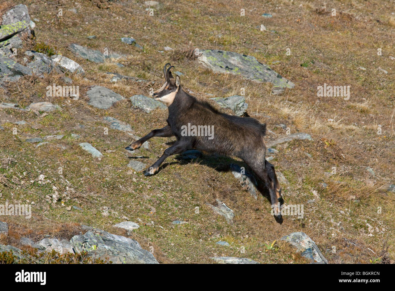 Chamois (Rupicapra rupicapra) running upwards in the Alps in autumn, Gran Paradiso National Park, Italy - Stock Image