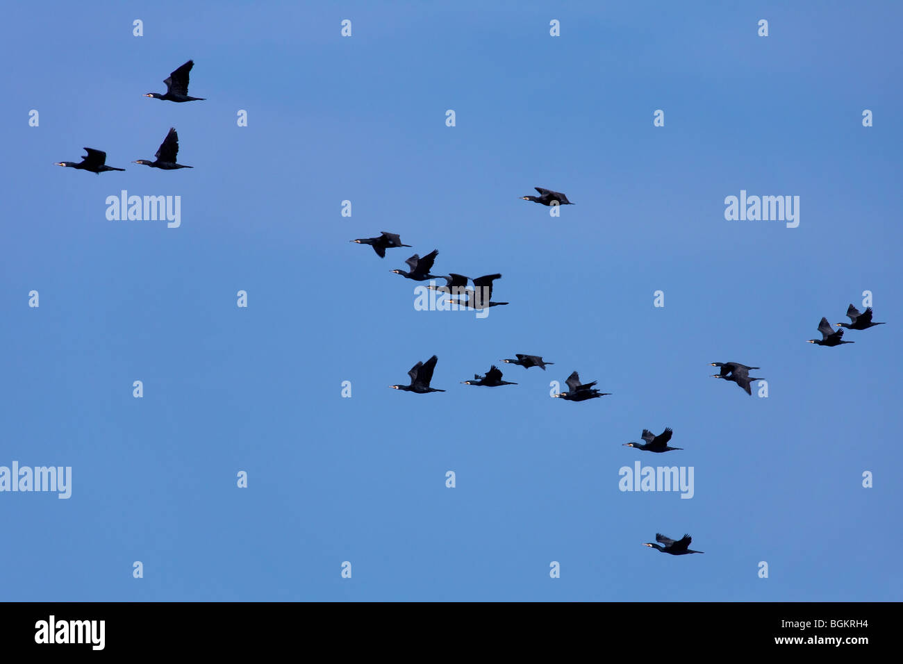 Great cormorants (Phalacrocorax carbo) flock in flight - Stock Image