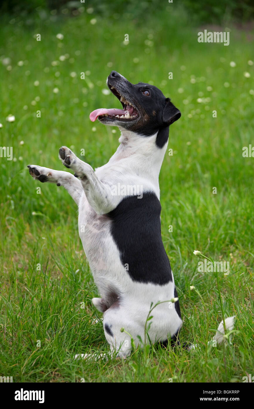 Jack Russell terrier (Canis lupus familiaris) sitting upright in garden - Stock Image
