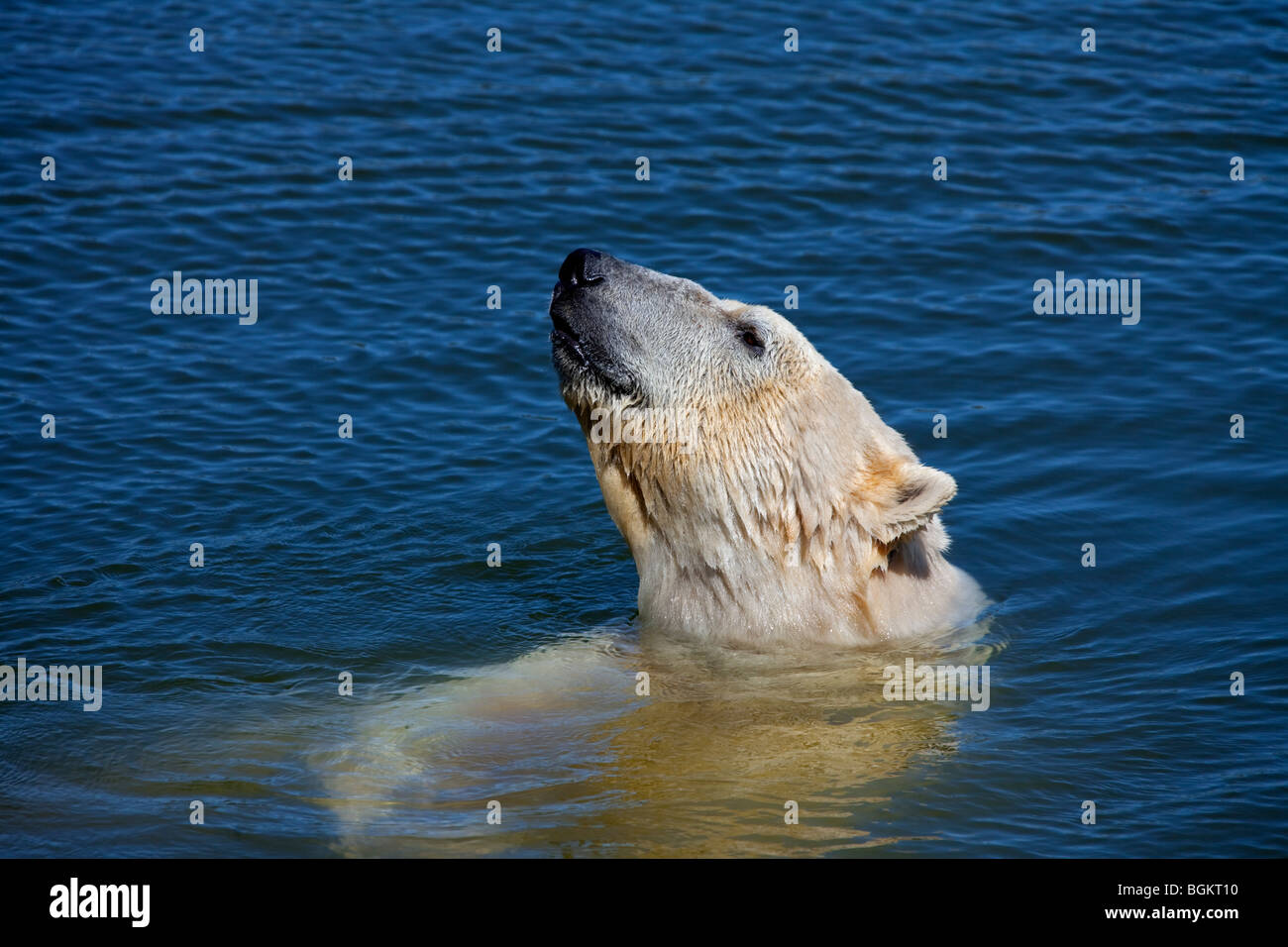 Polar bear (Ursus maritimus / Thalarctos maritimus) swimming in the sea, Norway - Stock Image
