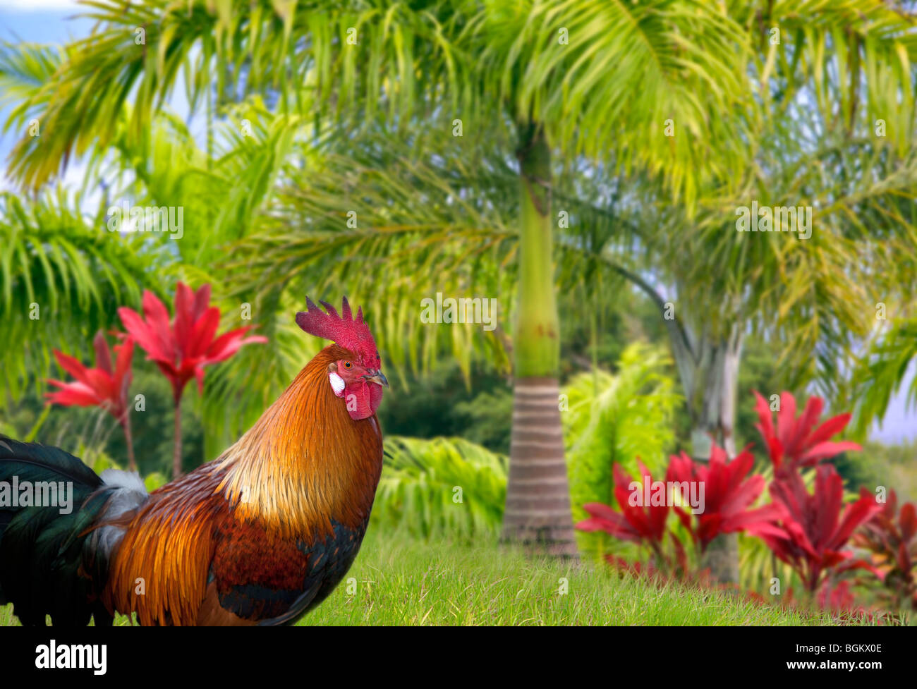 Wild rooster. Kauai, Hawaii - Stock Image