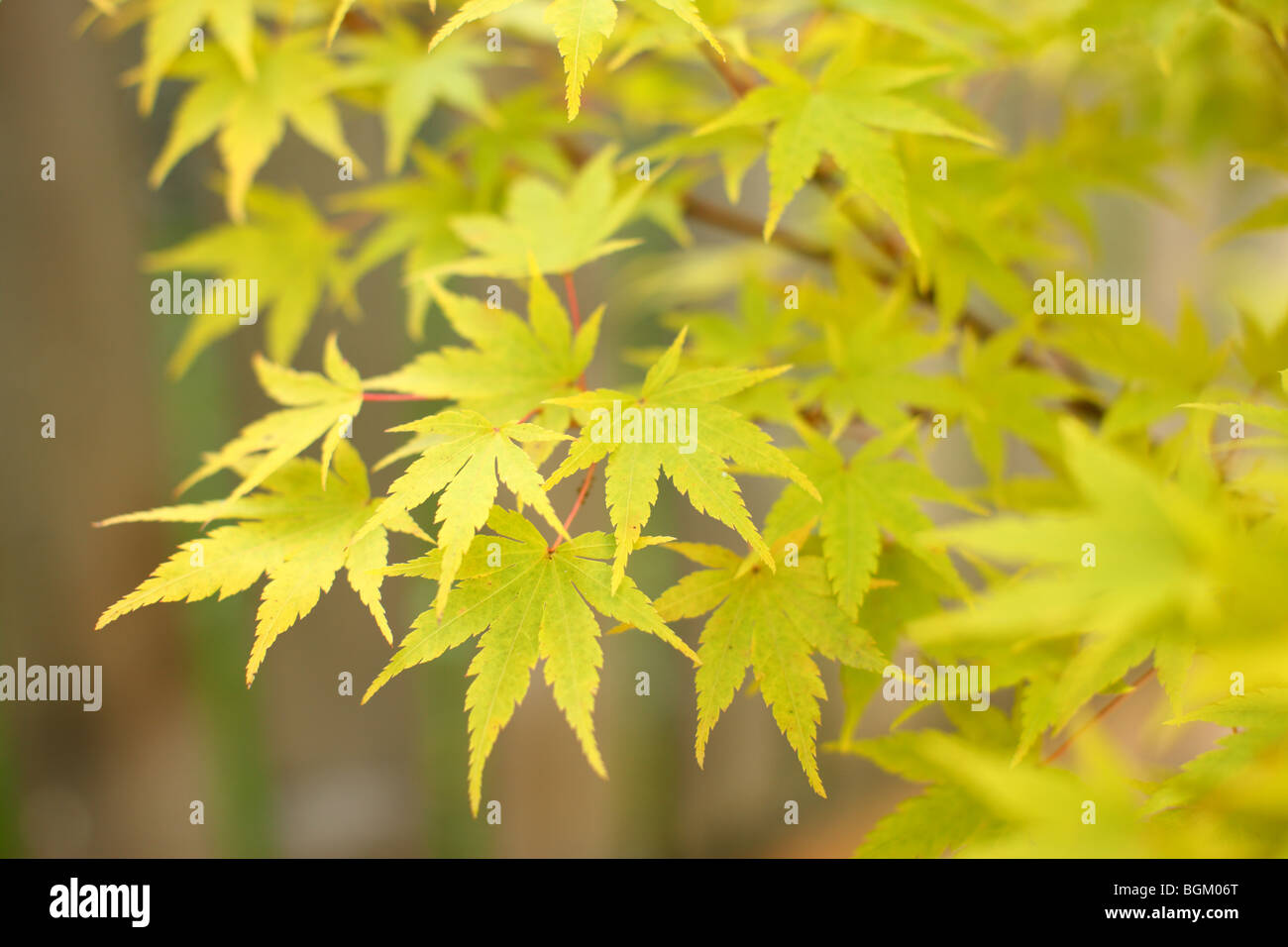 Yellow Japanese Maple leaves - Stock Image
