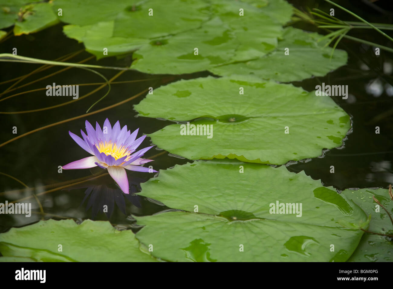 Lily pad with flower conservatory of flowers golden gate park san lily pad with flower conservatory of flowers golden gate park san francisco california usa izmirmasajfo