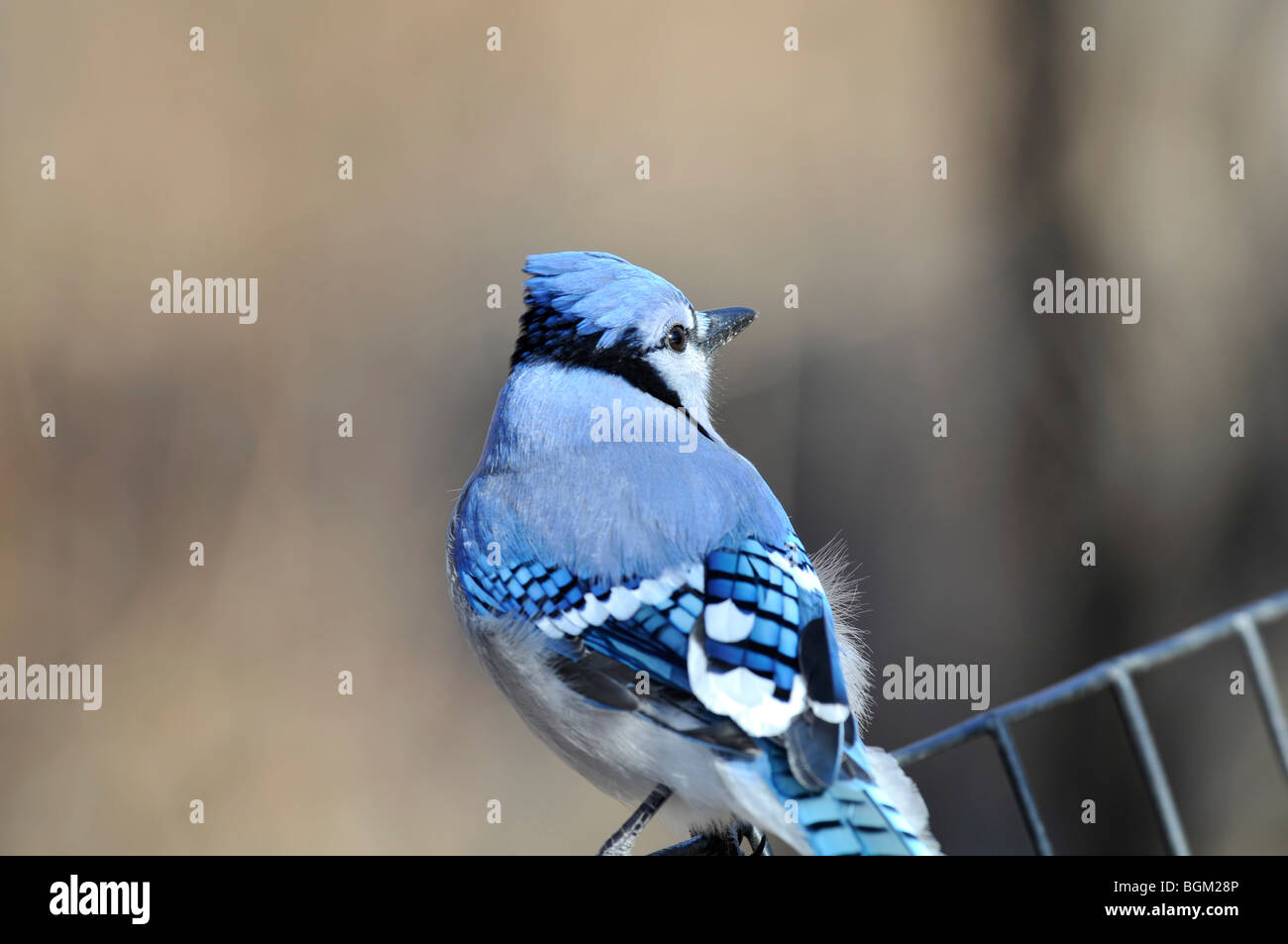 Blue Jay: Cyanocitta cristata. An adult Blue Jay photographed in Central Park, Manhattan on a cold winter morning Stock Photo