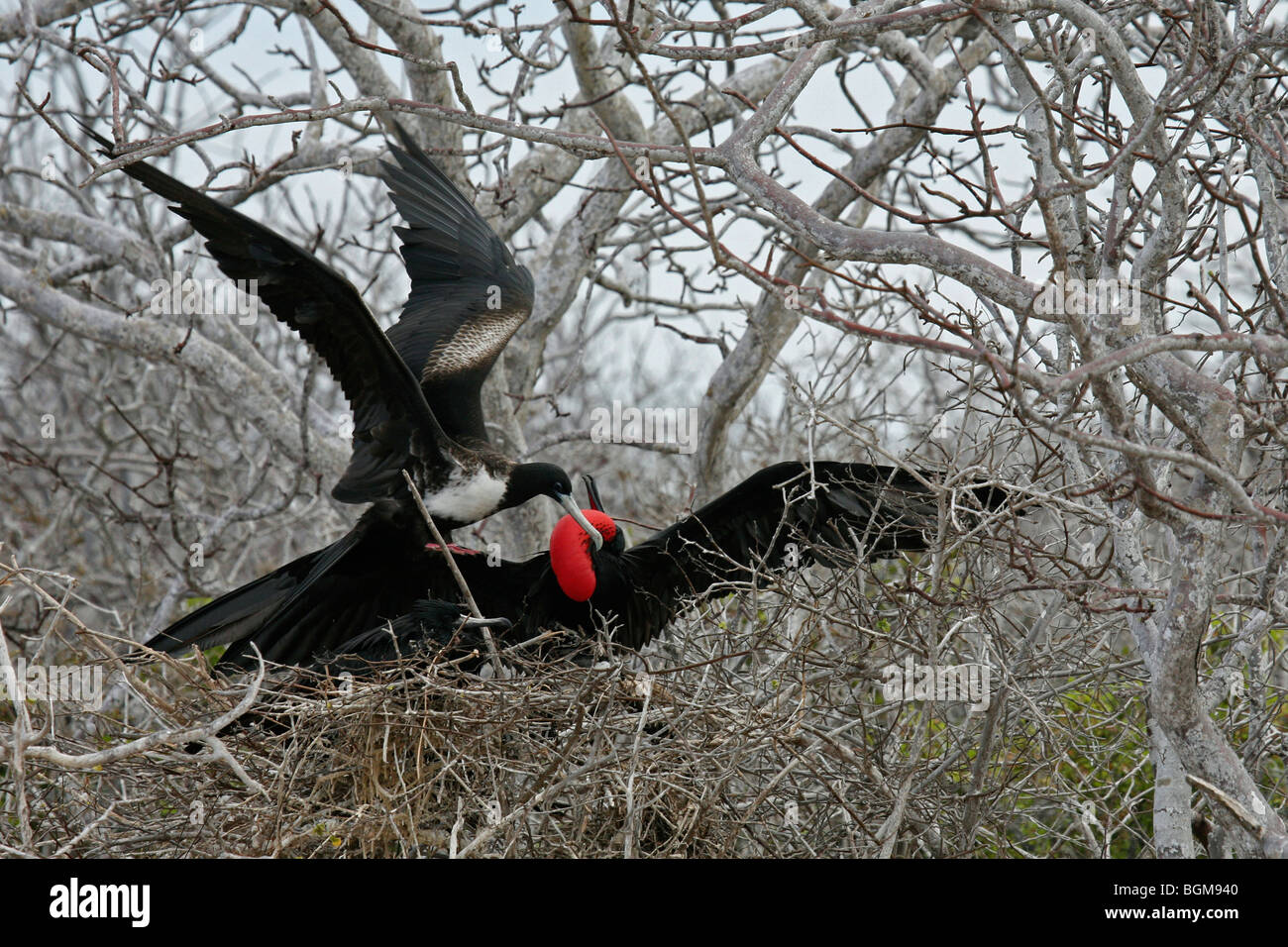 Great frigatebird / great frigate bird (Fregata minor) male showing courtship display on nest in tree, Galápagos - Stock Image