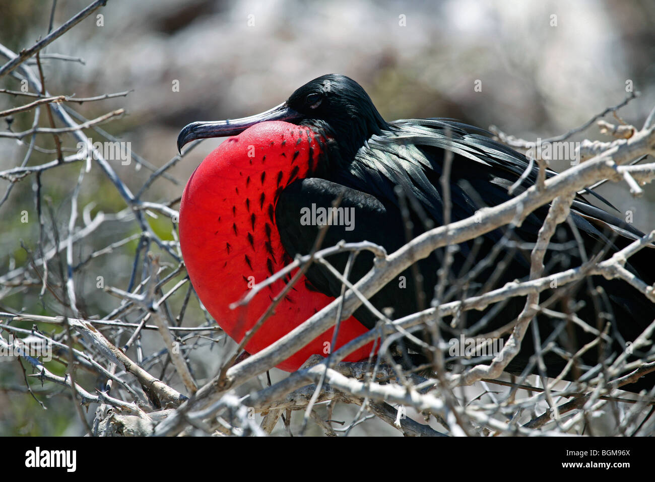 Great frigatebird / great frigate bird (Fregata minor) male showing courtship display  with inflated gular sac, - Stock Image