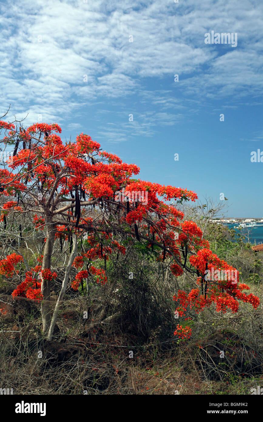 Flamboyant tree / Royal Poinciana (Delonix regia) in full bloom, Puerto Baquerizo Moreno, San Cristoba island, Galápagos - Stock Image