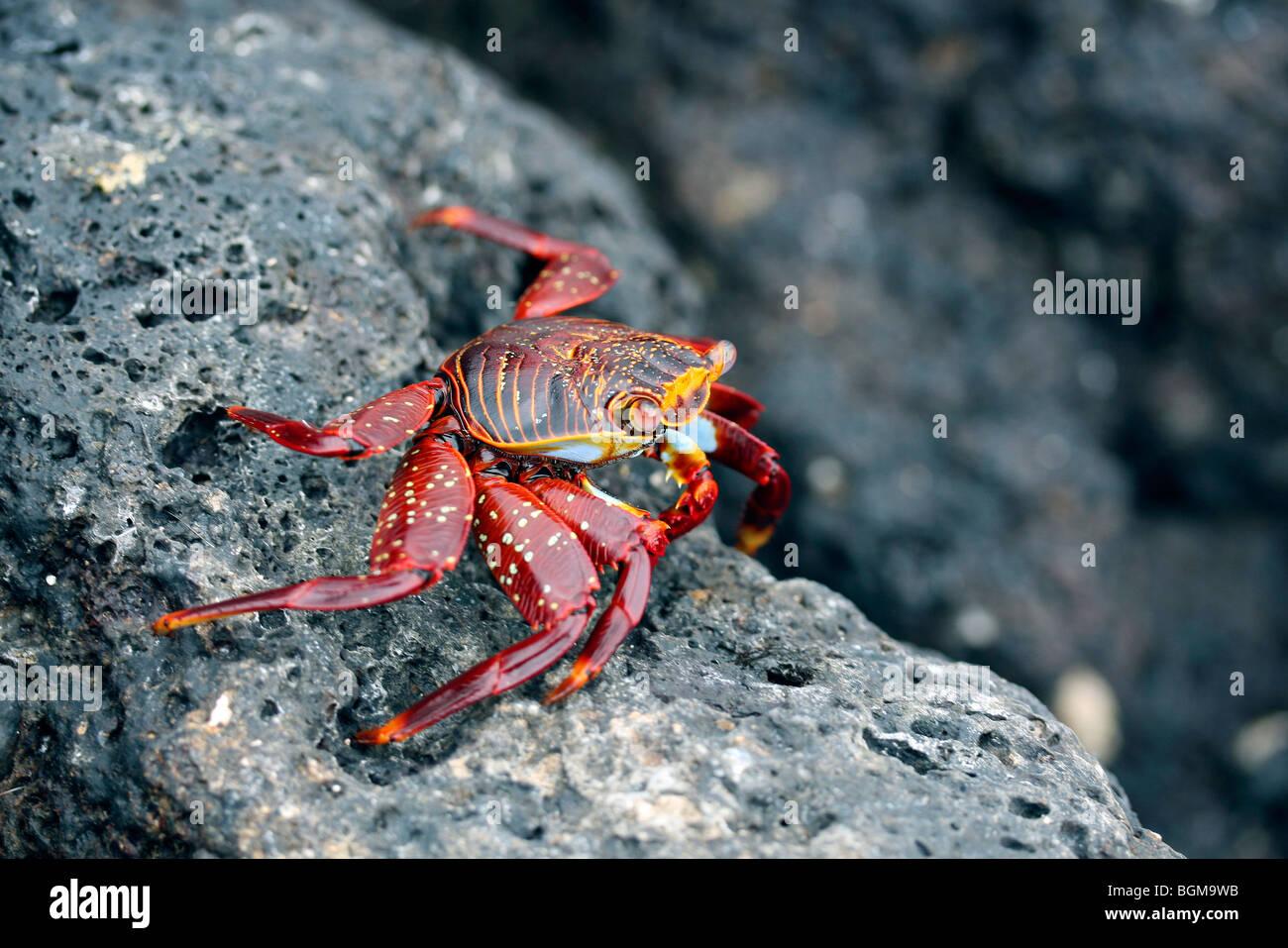 Sally lightfoot crab / red rock crab / abuete negro (Grapsus grapsus) on rock, Galápagos Islands, Ecuador, - Stock Image