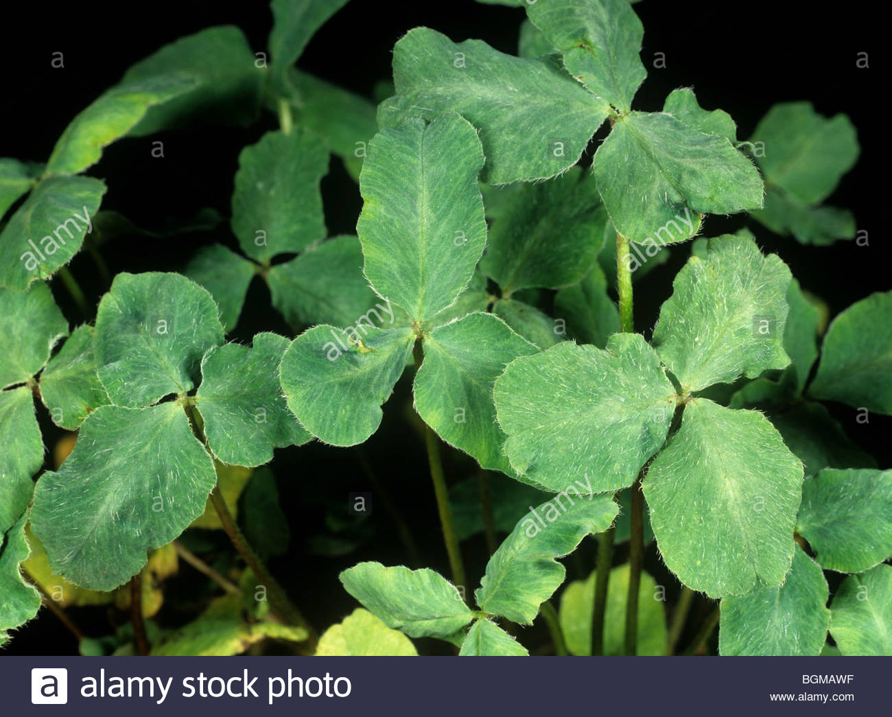 Clover stunt virus damage to red clover leaves - Stock Image