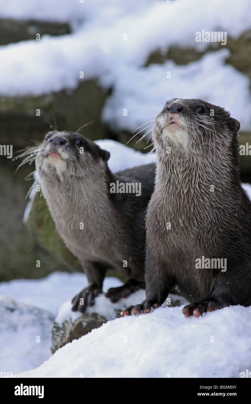 Pair Of Oriental Small-clawed Otters Aonyx cinerea 'Ned & Thai' In Snow Taken At Martin Mere WWT, Lancashire - Stock Image
