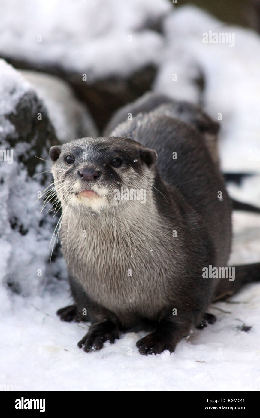 Oriental Small-clawed Otter Aonyx cinerea In Snow Taken At Martin Mere WWT, Lancashire UK - Stock Image
