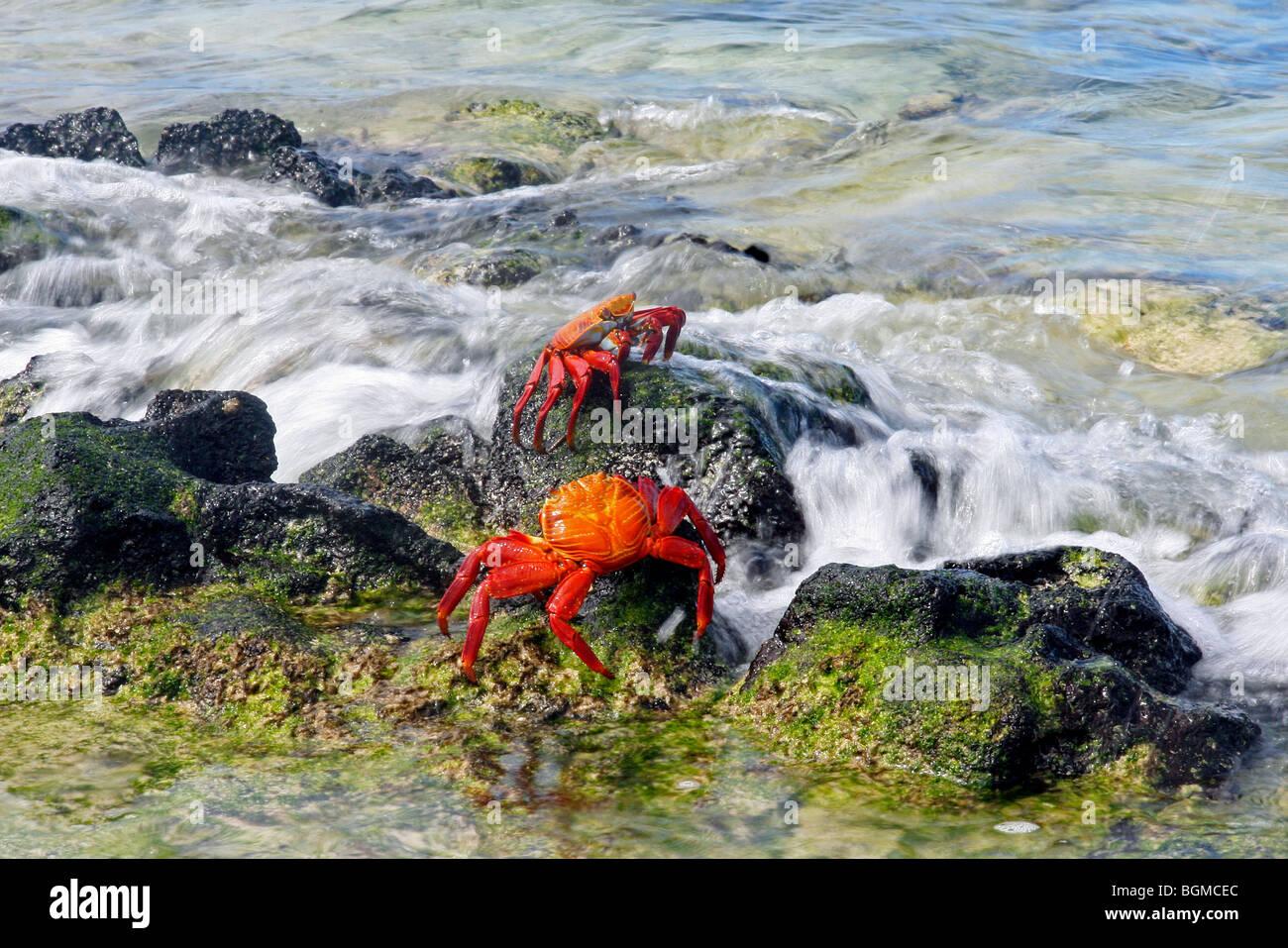 Sally lightfoot crabs / red rock crab / abuete negro (Grapsus grapsus), Las Bachas Bay on Santa Cruz island, Galápagos - Stock Image