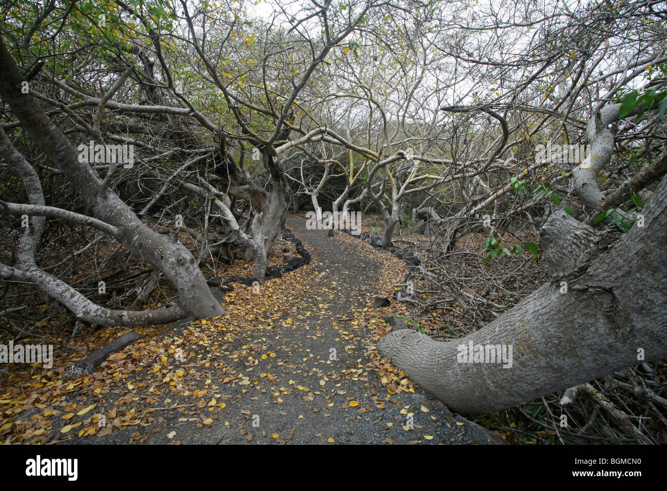 Path winding through forest with old trees on Isabela Island, Galápagos Islands, Ecuador, Latin America - Stock Image
