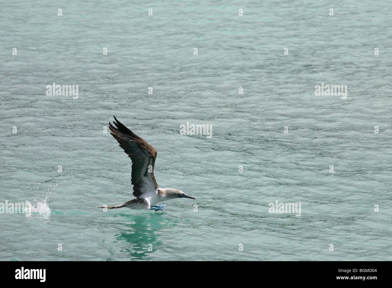 Blue-footed Booby (Sula nebouxii excisa) taking off from sea, Puerto Ayora on Santa Cruz Island, Galápagos - Stock Image