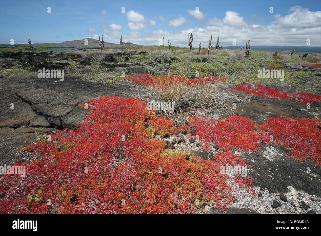 Vegetation on volcanic lava field, Isabela island, Galápagos Islands, Ecuador, Latin America - Stock Image