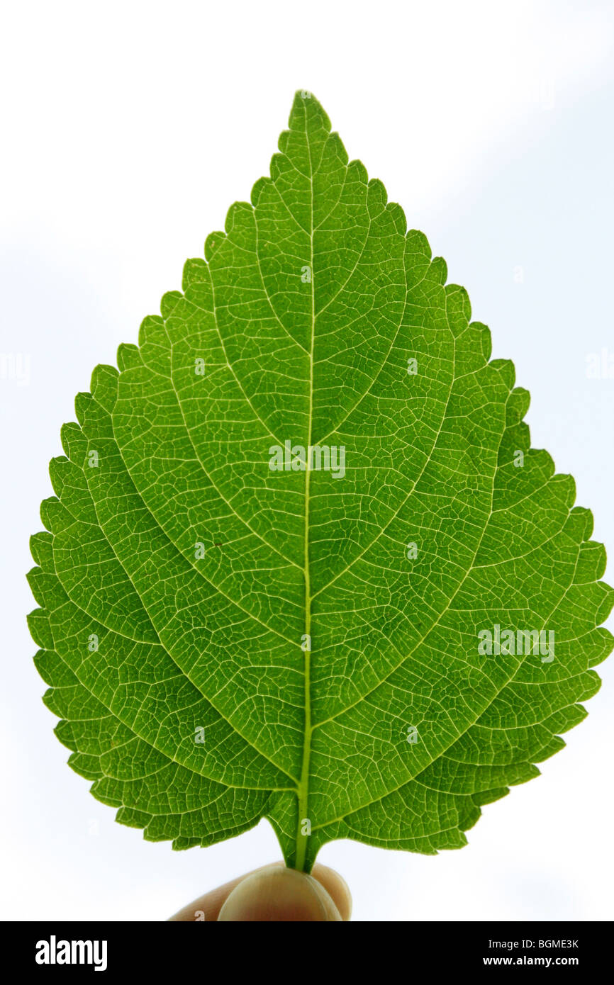 Close-up of a Leaf - Stock Image