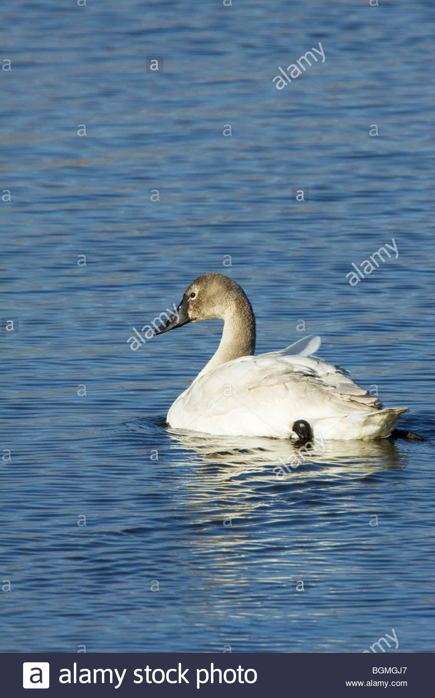 Tundra Swan Cygnus columbianus juvenile Arizona Stock Photo