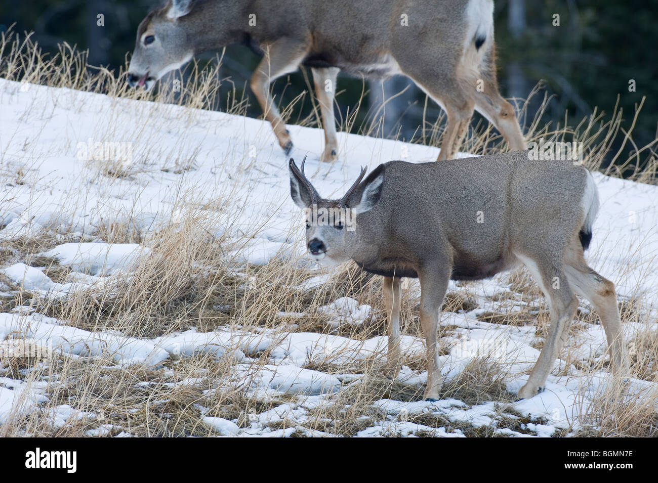 A mule deer buck foraging along a snow covered hillside - Stock Image