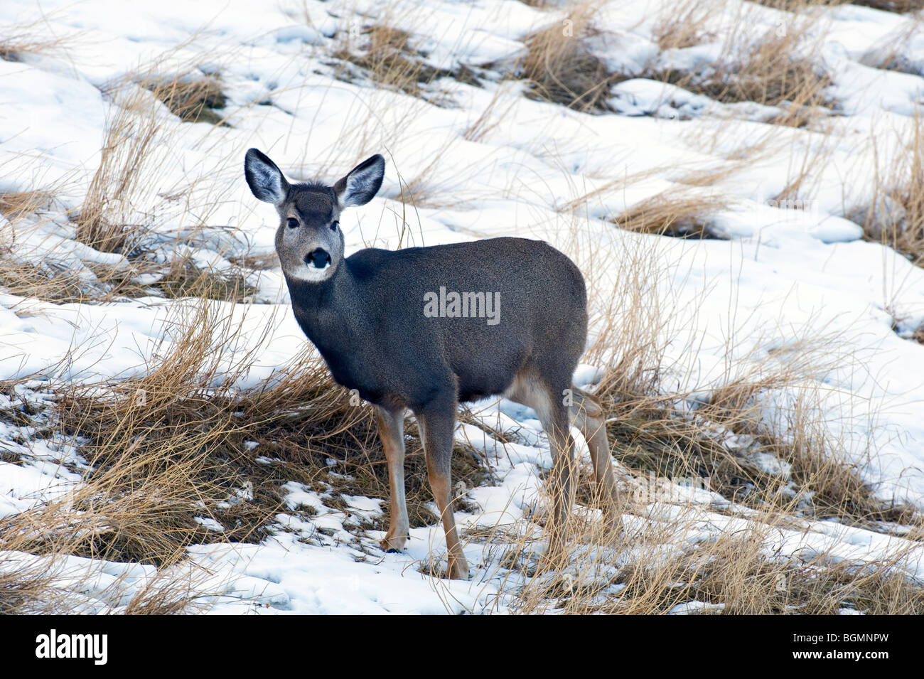 A young mule deer - Stock Image
