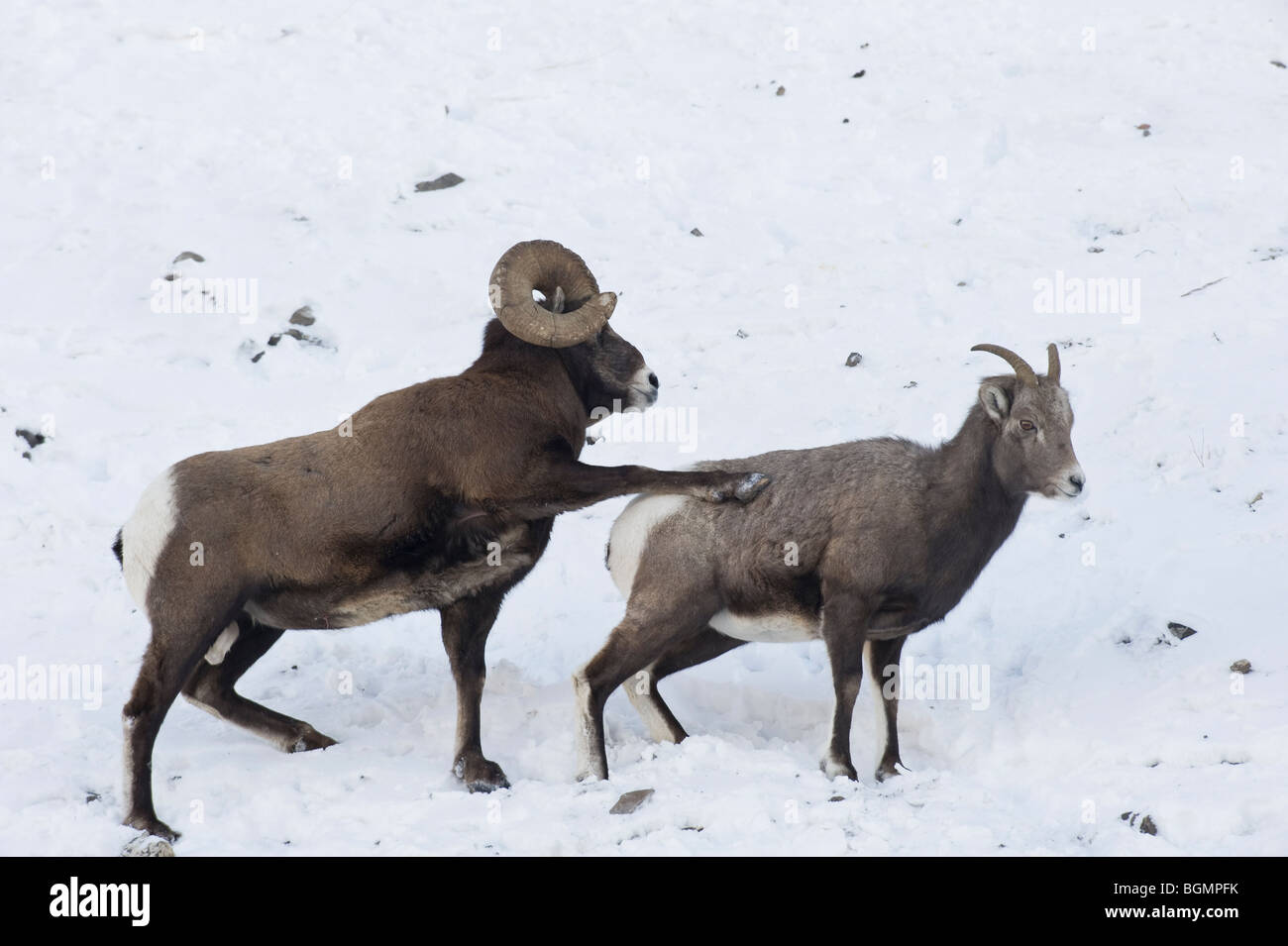Two Bighorn Sheep on a snow covered slope in Jasper National Park Alberta Canada - Stock Image