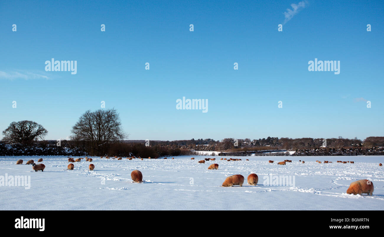 Rural snow scene with sheep digging for grass during the great 21010 freeze Oxfordshire England UK - Stock Image