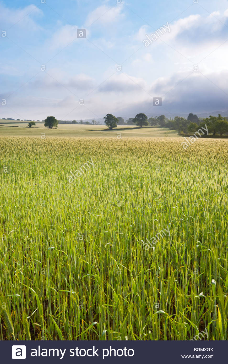 Wheat field, near Budleigh Salterton, East Devon, England. - Stock Image