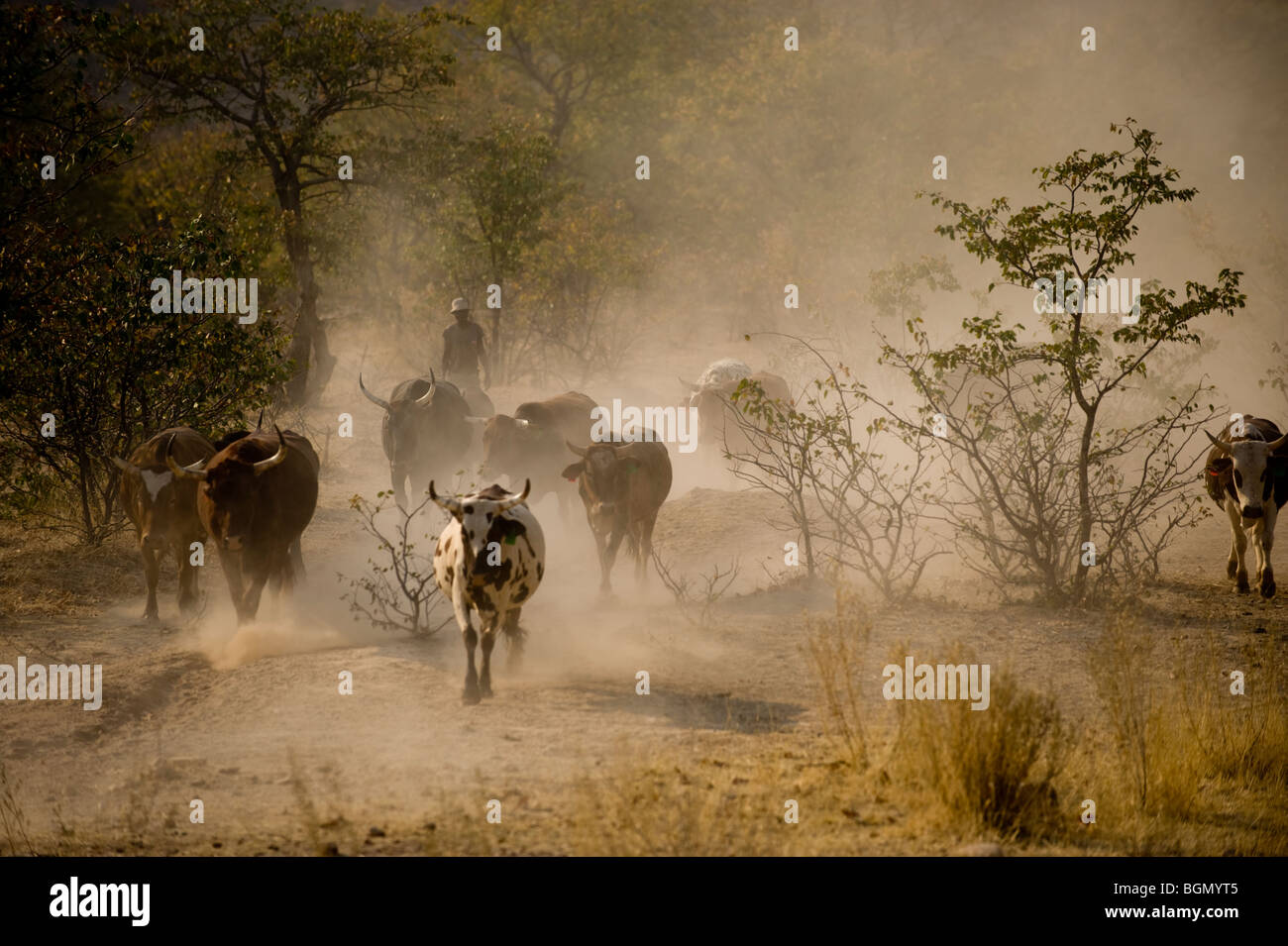 Driving cattle, near Opuwo, Northern Namibia - Stock Image