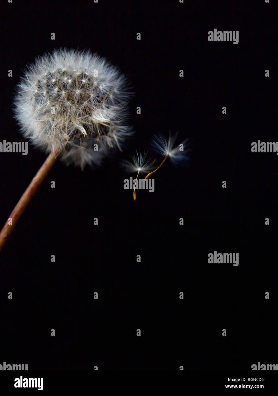 Dandelion Fuzz - Stock Image