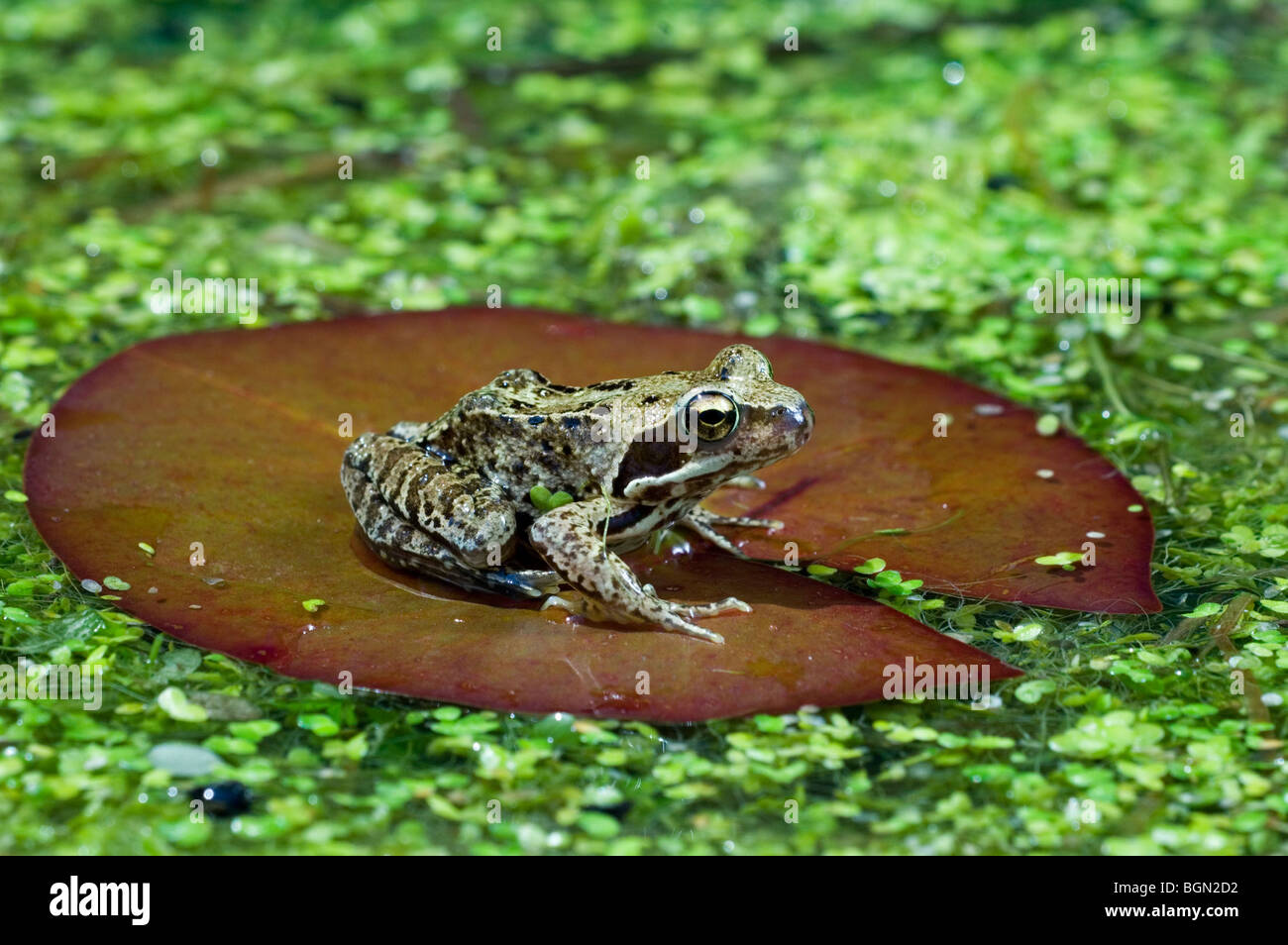 European common brown frog (Rana temporaria) sitting on water lily pad amongst duckweed in pond - Stock Image